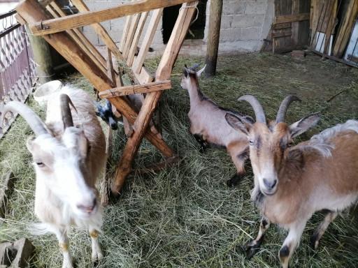 Prodajem  3 koze i 2 jareta, koze su mešanci.
