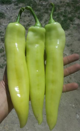 Paprika duga bela za salatu